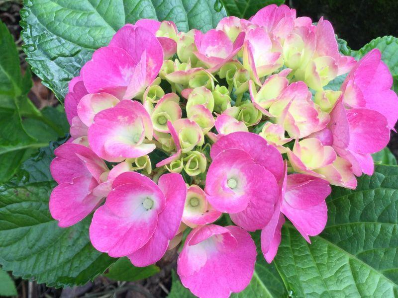 アジサイの花が咲いています